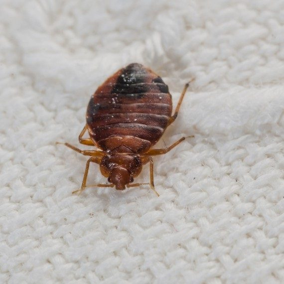 Bed Bugs, Pest Control in Southfleet, Meopham, DA13. Call Now! 020 8166 9746