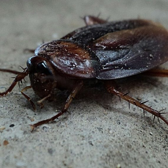 Cockroaches, Pest Control in Southfleet, Meopham, DA13. Call Now! 020 8166 9746