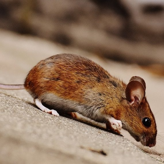 Mice, Pest Control in Southfleet, Meopham, DA13. Call Now! 020 8166 9746