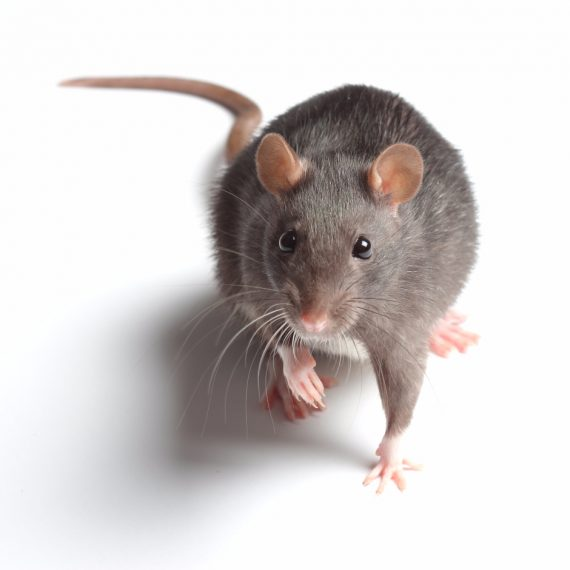 Rats, Pest Control in Southfleet, Meopham, DA13. Call Now! 020 8166 9746
