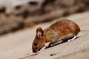 Mice Exterminator, Pest Control in Southfleet, Meopham, DA13. Call Now 020 8166 9746