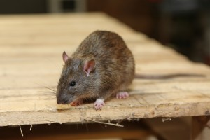 Mice Infestation, Pest Control in Southfleet, Meopham, DA13. Call Now 020 8166 9746