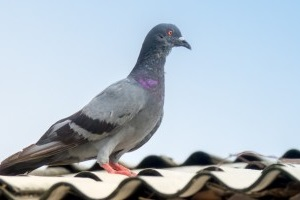 Pigeon Pest, Pest Control in Southfleet, Meopham, DA13. Call Now 020 8166 9746